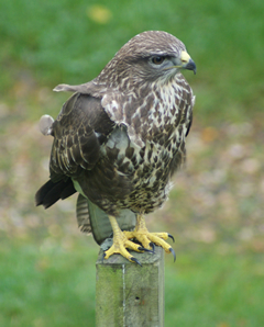 Buzzard on the Gate Post