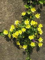 ..and even more Celandines. The early April blankets of Celandines have been glorious in the unexpectedly warm spring.